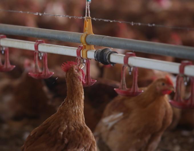 Pollo che si abbevera in interno allevamenti